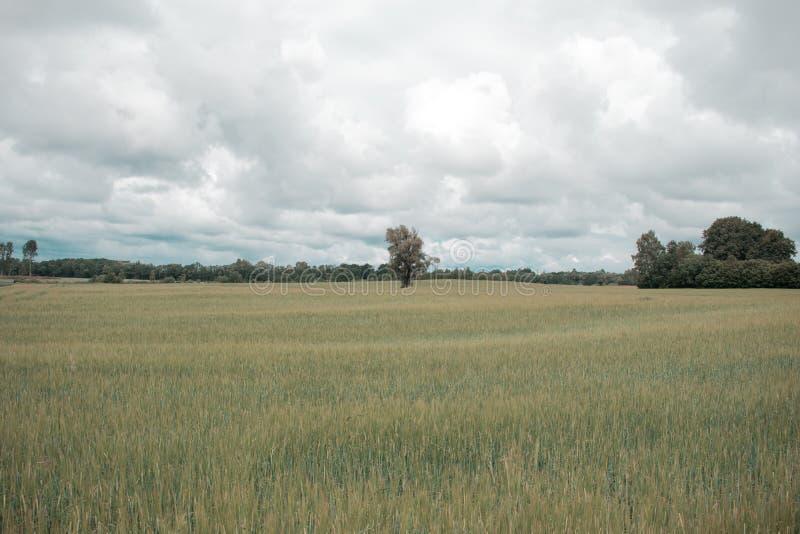 与森林的绿色大麦领域在背景中在一多云天 库存照片