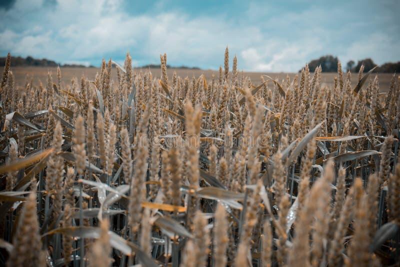 与森林的绿色麦田在背景中在一多云天 库存照片