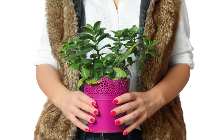 与植物的桃红色花盆在手中 查出的空白背景 免版税库存照片