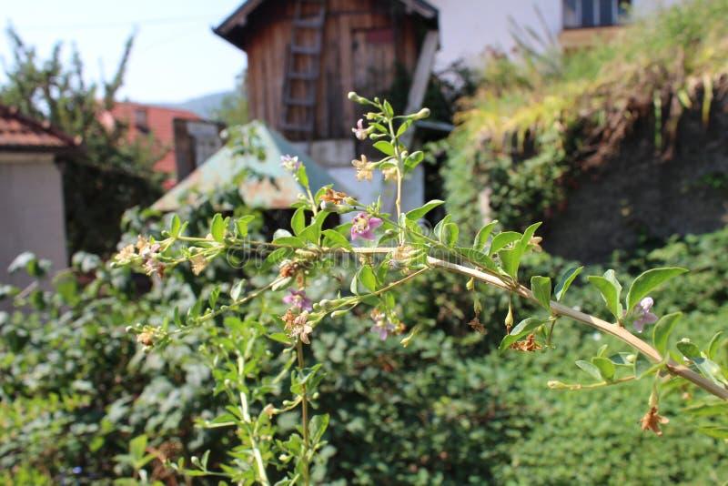 与植物的细节用从我的有机庭院的goji莓果 免版税库存照片