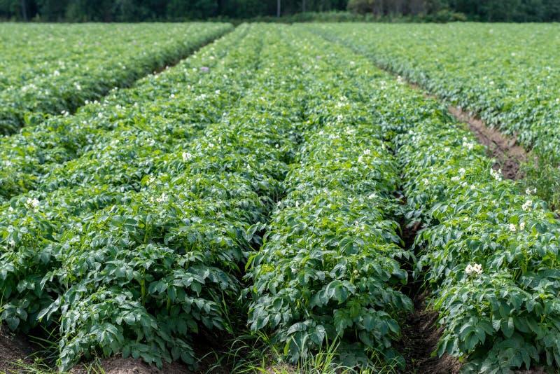 与植物的绿色土豆领域好的行的 免版税库存照片