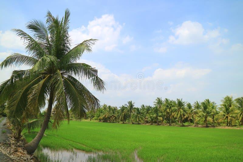 与椰子树的充满活力的绿色稻田在明亮的蓝天下 免版税库存照片