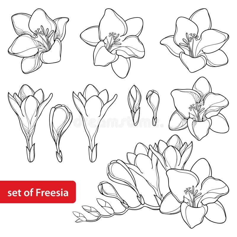 与概述小苍兰花束的传染媒介集合和在白色背景在黑色的华丽芽隔绝的 四季不断的芬芳植物 向量例证