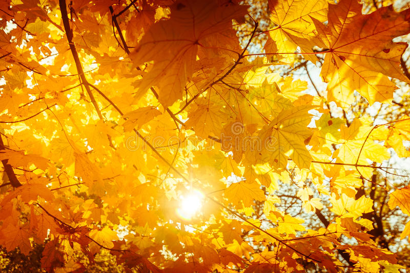 与槭树的抽象秋天自然背景离开 库存照片