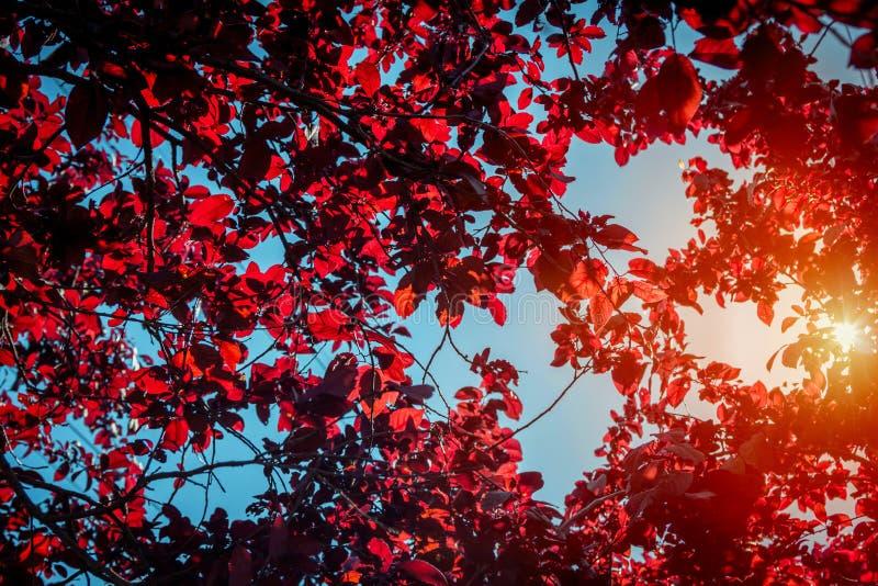 与樱桃洋李分支的抽象自然本底 免版税库存照片