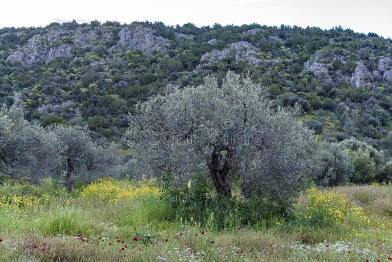 与橄榄树树丛的风景与野花五颜六色的开花的春季的  库存图片