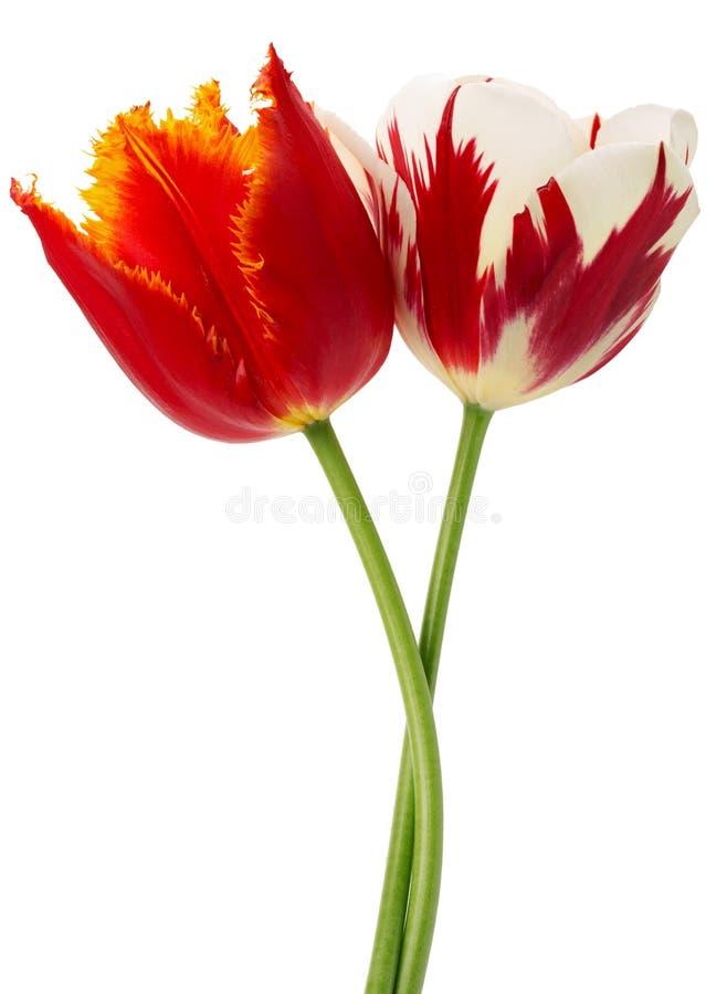 与橙色和红色的红色与白色郁金香 免版税库存图片