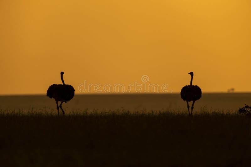 与橙色天空的驼鸟被看见在马塞语玛拉 库存图片