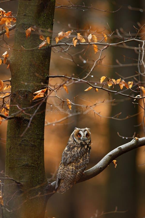 与橙色橡木的长耳朵猫头鹰离开在秋天,鸟期间在栖所 免版税图库摄影