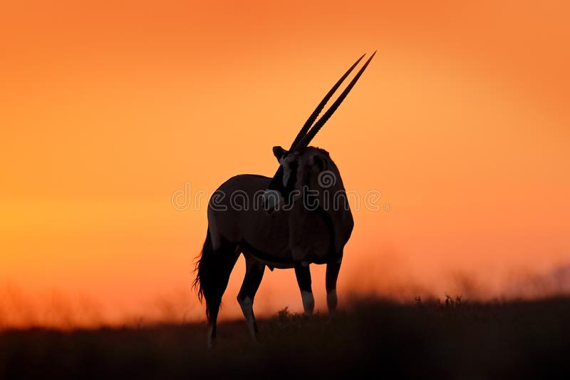 与橙色沙丘晚上日落的羚羊属 Gemsbock大羚羊在自然栖所,Sossusvlei,纳米比亚 狂放的沙漠 羚羊属 免版税库存照片