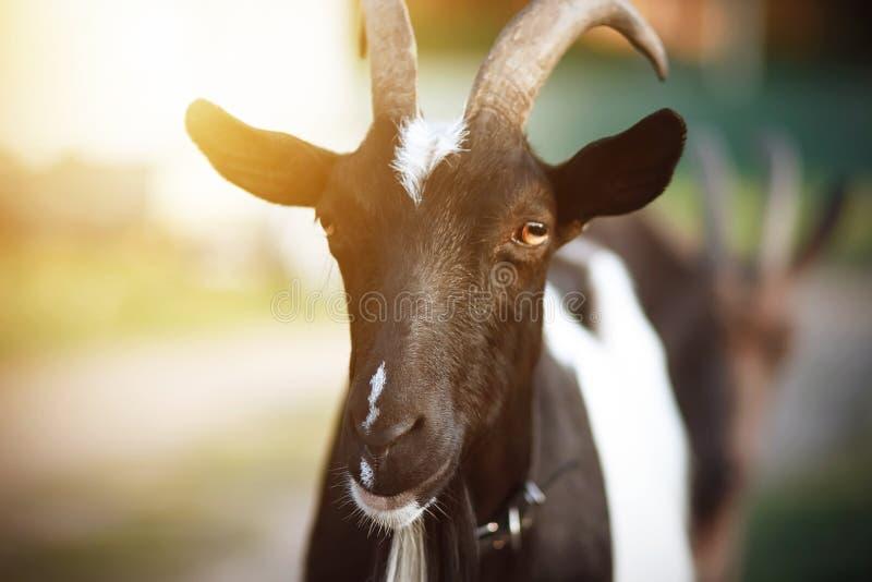 与橙色眼睛的农村被察觉的黑暗的山羊 免版税库存图片