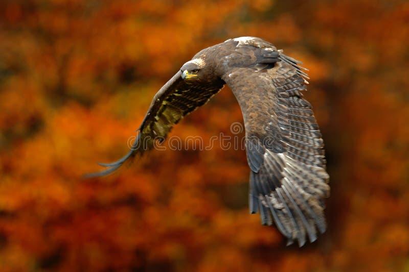 与橙色秋天森林橙色秋天场面的老鹰与鸷 面对飞行干草原老鹰,天鹰座nipalensis,与fo的鸟 库存图片
