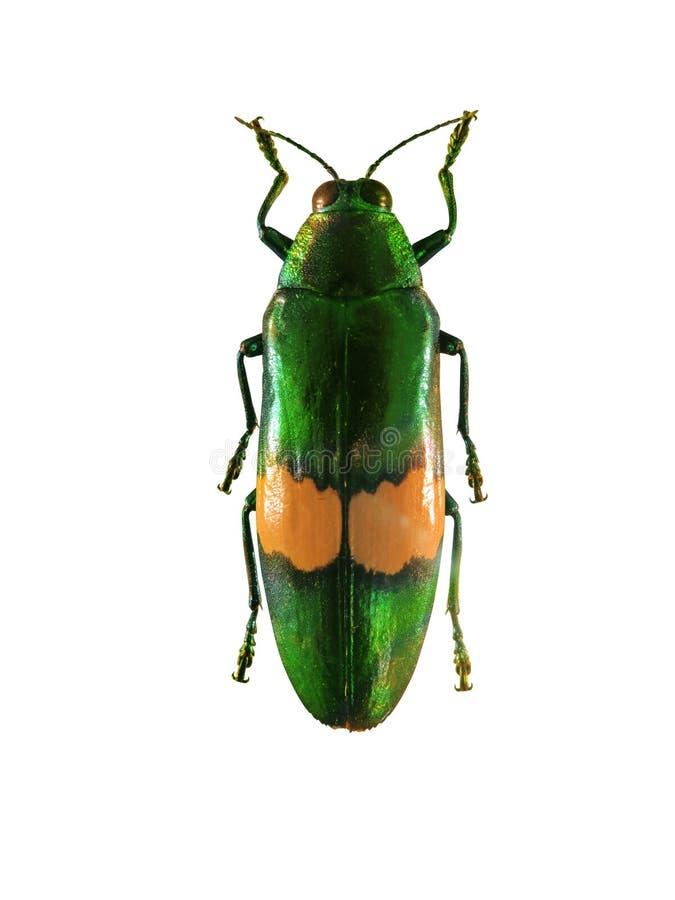 与橙色线的绿色甲虫在翼 免版税图库摄影