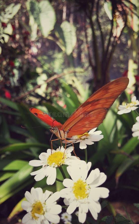 与橙色翼的伟大的蝴蝶在与白色的一朵黄色花和紫罗兰色口气背景栖息  免版税图库摄影
