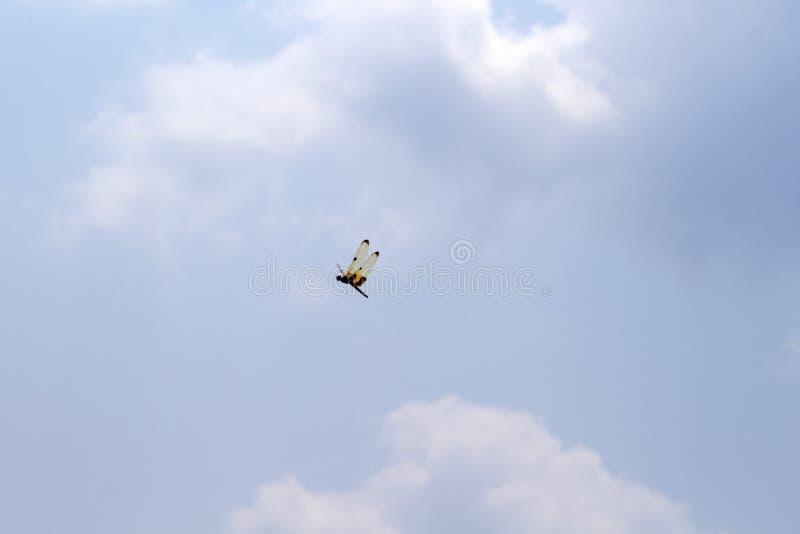 与橙色翼的蜻蜓在蓝天 在空的天空的热带昆虫飞行 与黄色黑翼的蜻蜓 库存图片