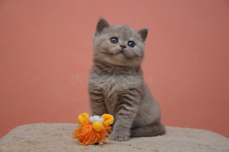与橙色背景,可爱和逗人喜爱的小小猫的英国shorthair小猫 库存图片