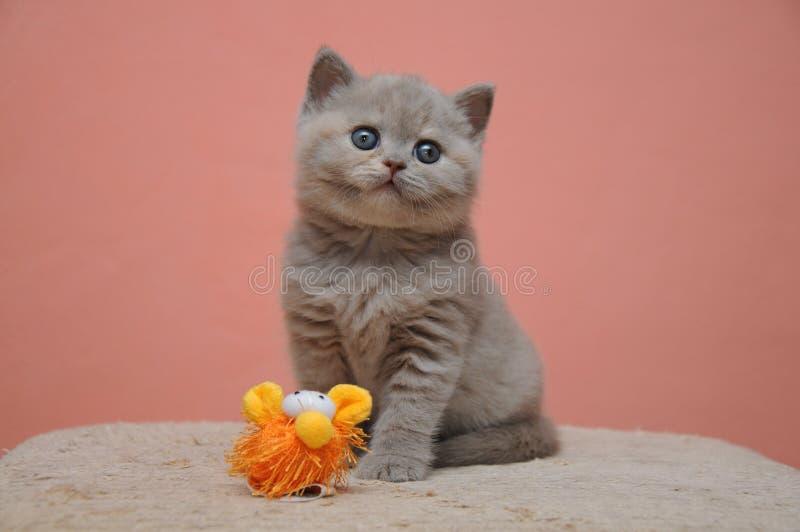 与橙色背景,可爱和逗人喜爱的小小猫的英国shorthair小猫 免版税图库摄影