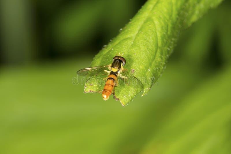 与橙色腹部的Hoverfly在一片叶子栖息在康涅狄格 库存照片