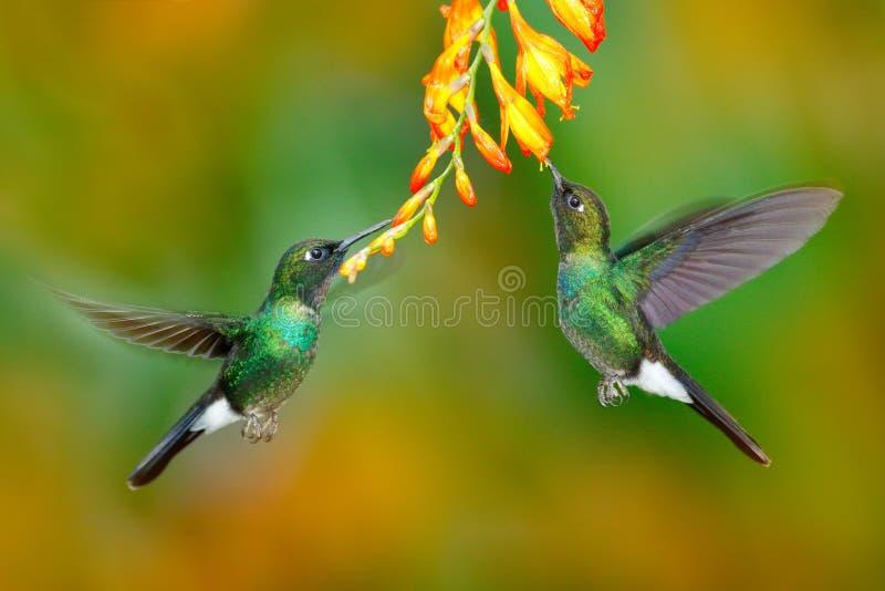 与橙色花的蜂鸟 两飞行的蜂鸟,在飞行的鸟 与蜂鸟的行动场面 电气石吃nec的Sunangel 免版税图库摄影