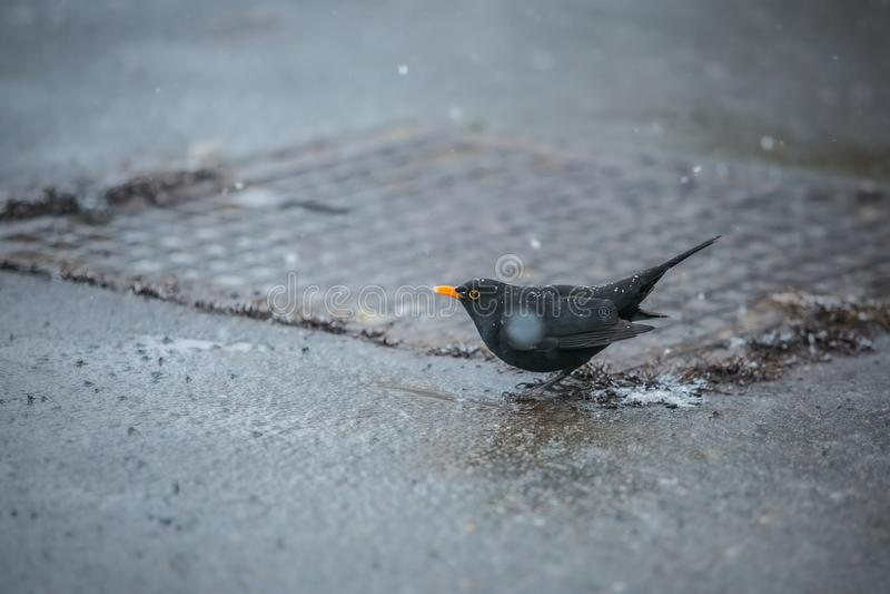 与橙色额嘴的一个黑鹂盖用雪花喝从水坑的 库存图片