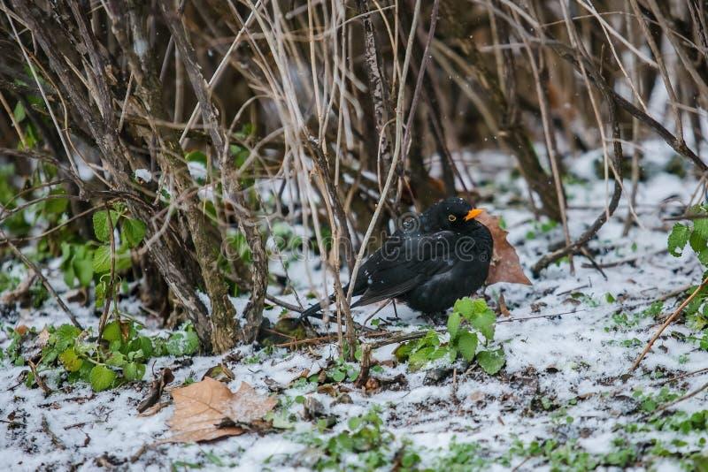 与橙色额嘴身分的一个黑鹂在一寒冷冬天天 图库摄影