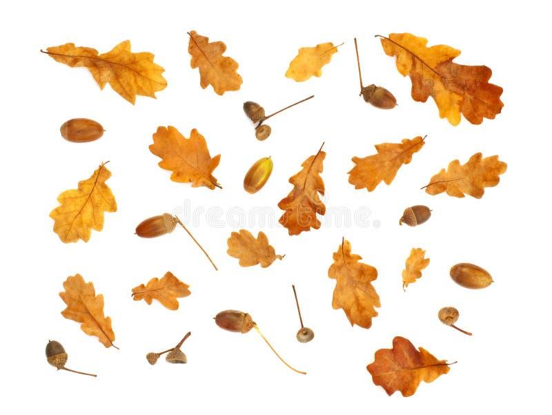 与橡子和黄色橡木叶子的被隔绝的秋天印刷品 免版税库存照片