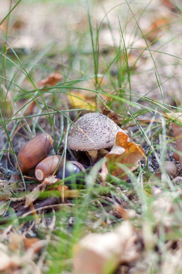 与橡子的蘑菇在森林里 免版税图库摄影