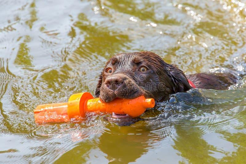 与橡胶玩具游泳的拉布拉多狗在水中 库存照片