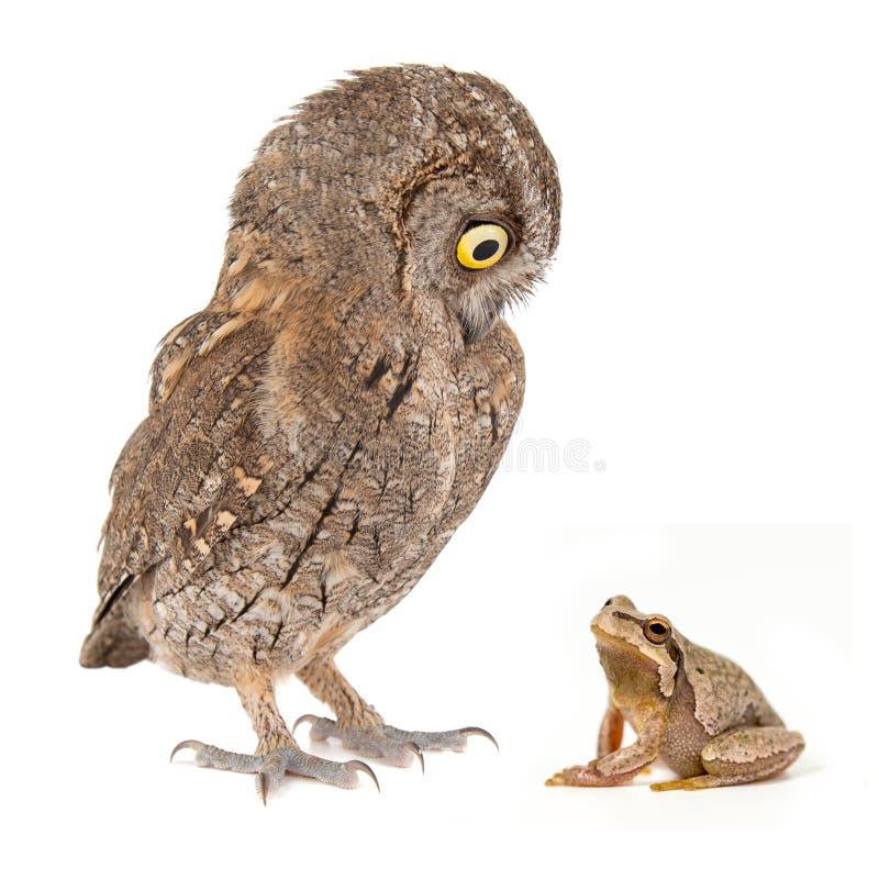与欧洲红角鹗、Otus scops和欧洲绿色雨蛙,雨蛙arborea的拼贴画 : 库存图片