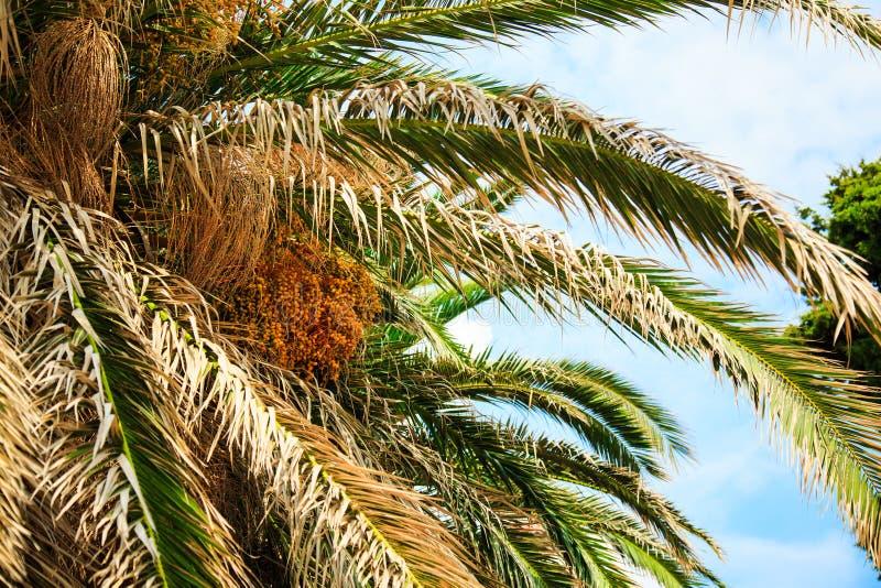 与死者橙色未成熟的日期叶子和群的枣椰子树 免版税库存图片