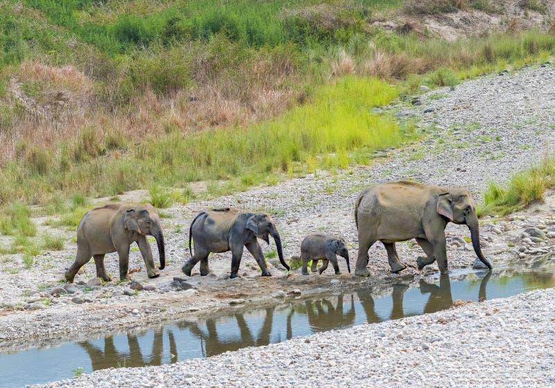 与母亲和其他兄弟姐妹的婴孩大象 库存照片