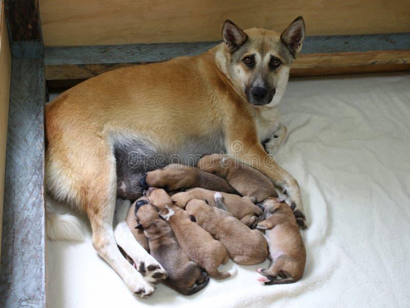 与母亲的八只新出生的小狗 图库摄影