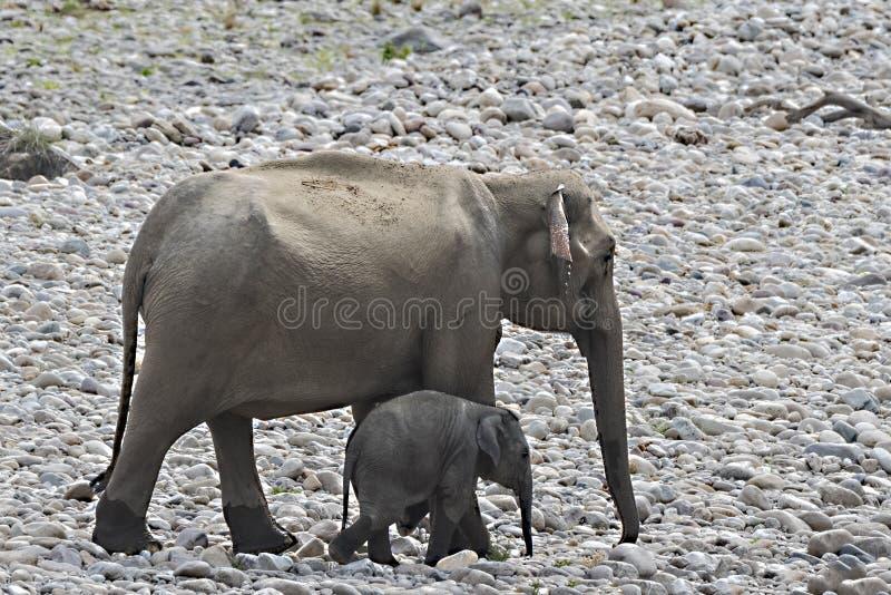 与母亲的婴孩大象河河岸的  免版税图库摄影
