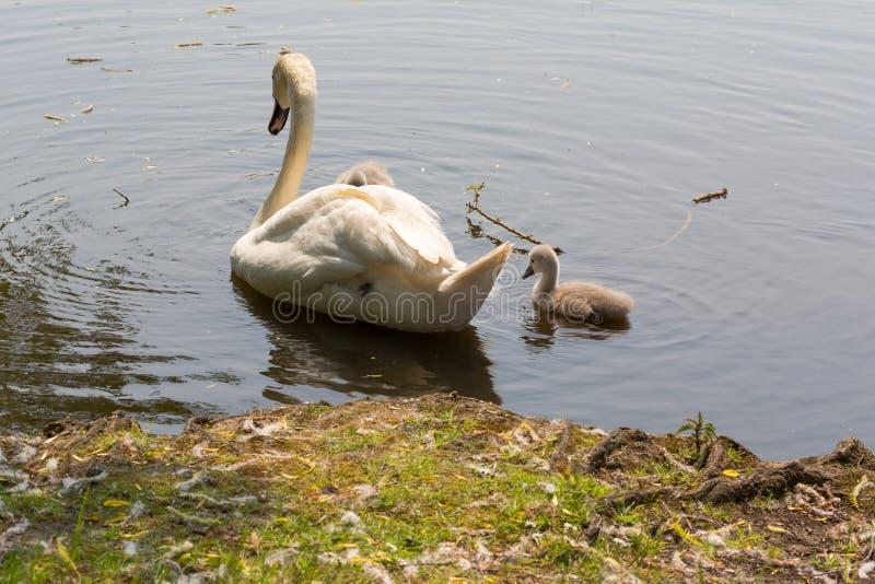 与母亲的幼小天鹅在湖游泳 免版税图库摄影