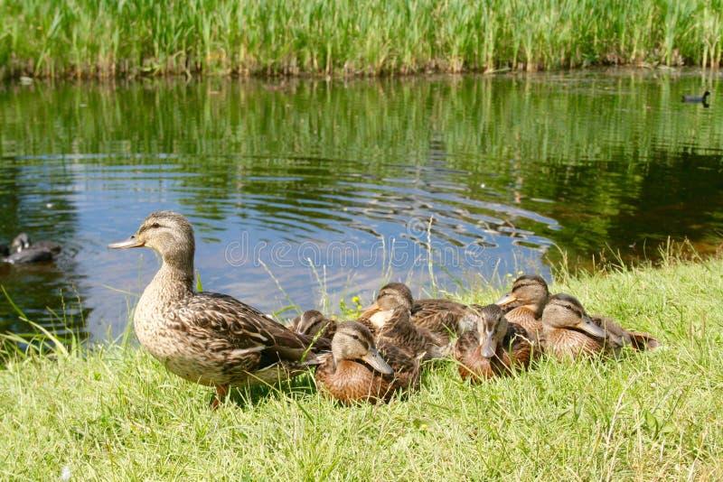 与母亲的美丽的甜小的鸭子 库存图片