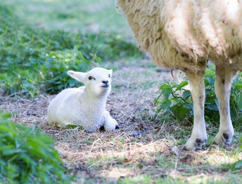 与母亲绵羊的腿的说谎的羊羔 库存照片