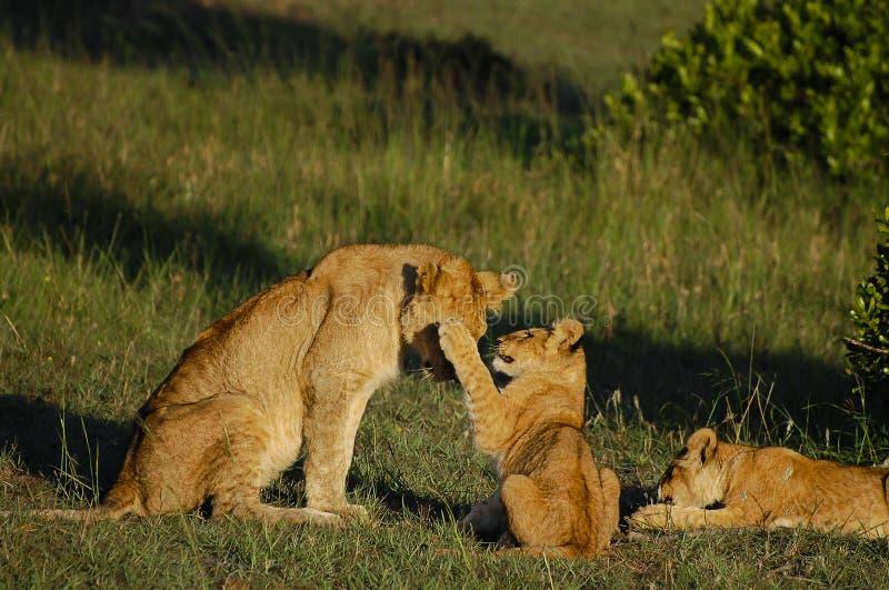 与母亲-马塞语玛拉-肯尼亚的幼狮 库存图片