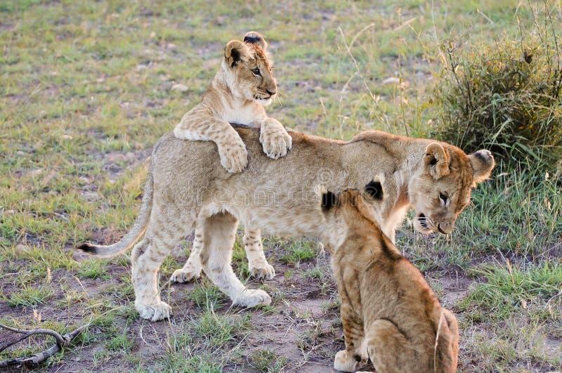 与母亲-马塞语玛拉-肯尼亚的幼狮 图库摄影