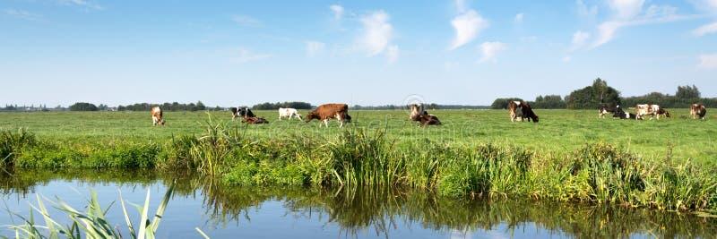 与母牛、草原、树、蓝天和白色云彩的典型的荷兰全景风景 免版税库存照片