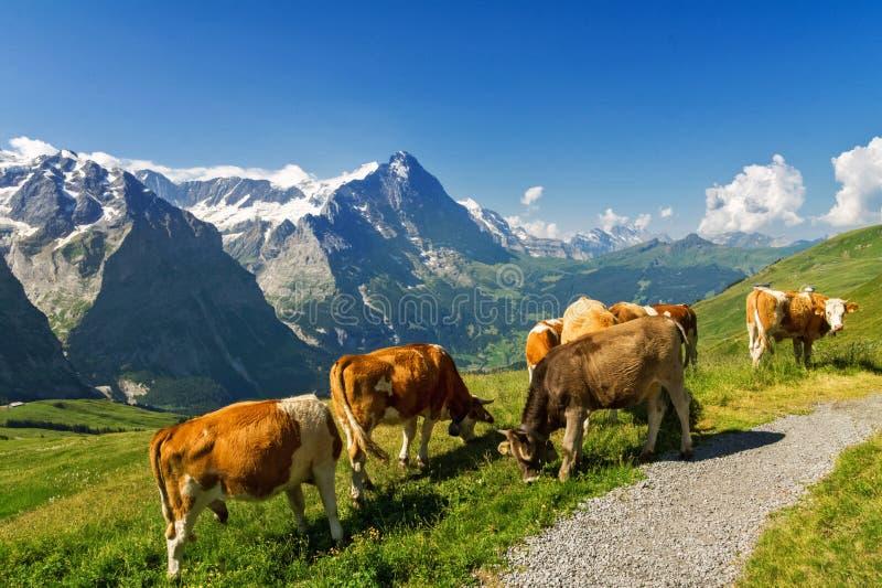 与母牛、阿尔卑斯山和乡下的美好的田园诗高山风景在夏天 免版税库存照片