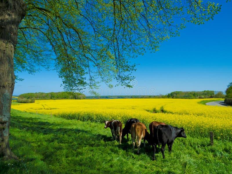 与母牛的农村风景在春天 免版税库存图片