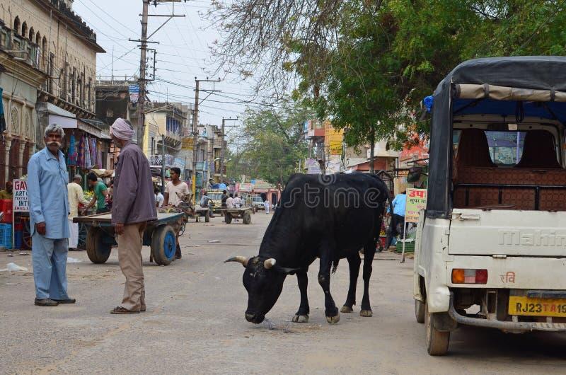 与母牛, Nawalgarh,拉贾斯坦,印度的街道生活 免版税库存照片