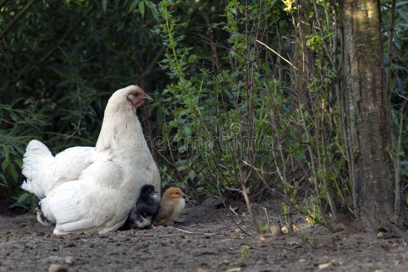 与母鸡和小小鸡的鸡家庭在自由放养的家禽场 库存照片