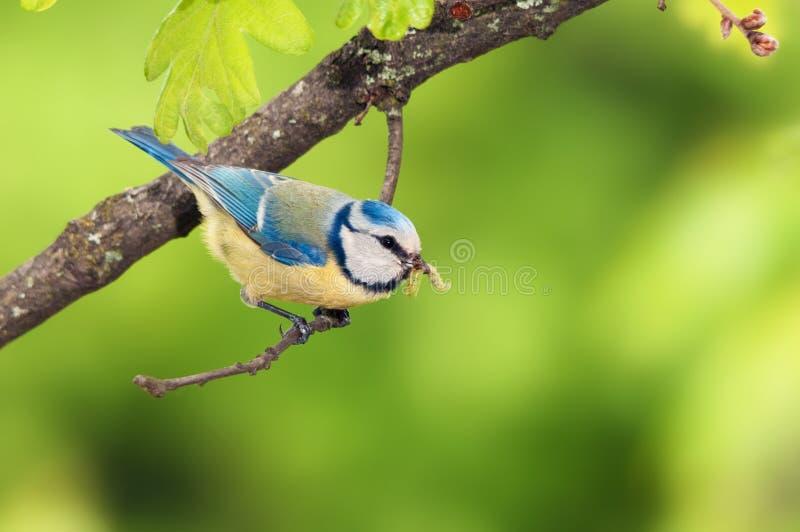 与雨燕的一只蓝冠山雀鸟.铃木毛虫1.5v雨燕几个星图片