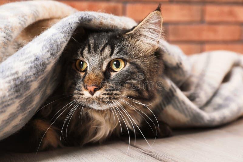 与毯子的逗人喜爱的猫在地板上 温暖和舒适冬天 免版税库存照片