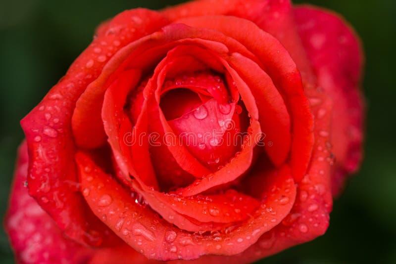 与水下落和早晨太阳的明亮的红色玫瑰在绿色背景 宏指令 关闭 免版税库存照片