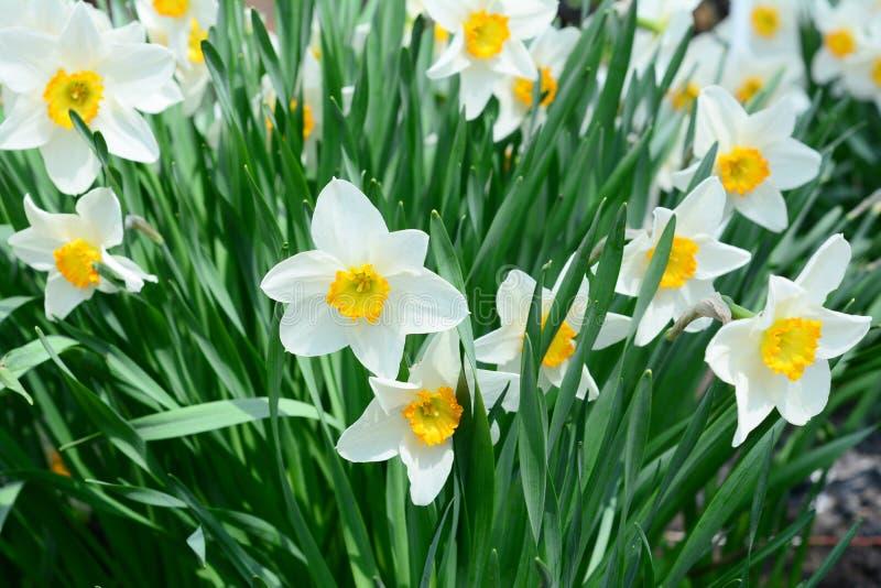 与水仙花黄水仙的亦称美丽的春天花床 图库摄影