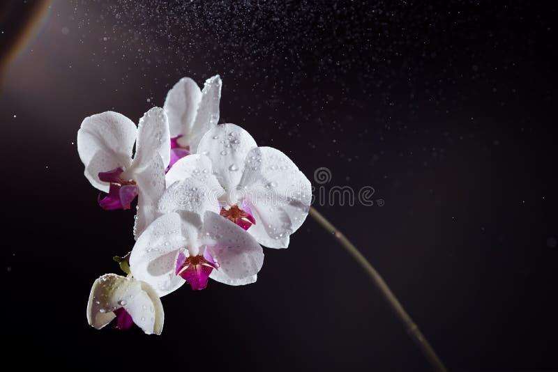 与水后面光芒光和滴的白色兰花植物兰花在黑背景的 免版税库存照片