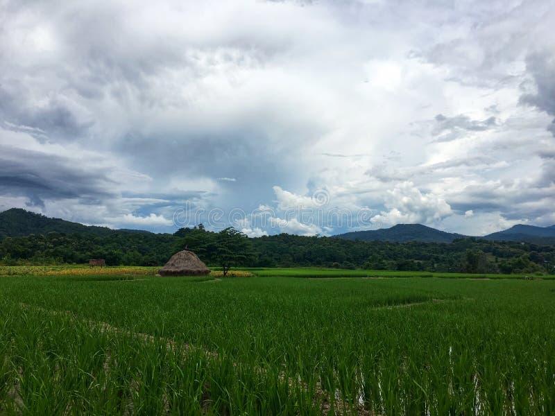 与水和秸杆的绿色米领域在白色云彩和山下的树旁边 库存图片