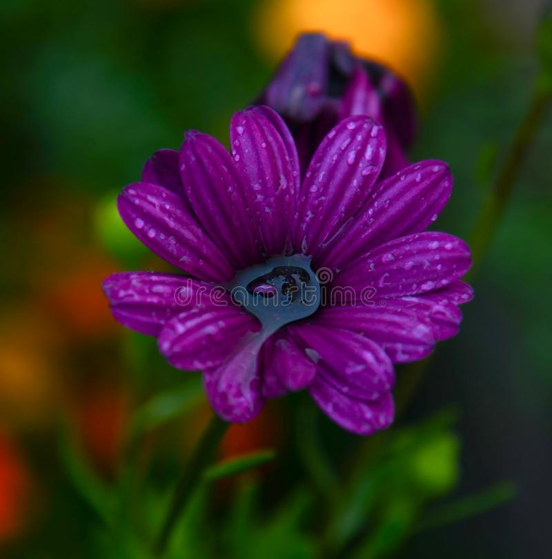 与水在核心和雨珠的明亮的紫色花在有绿色叶子的瓣 图库摄影